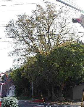 神社の巨木