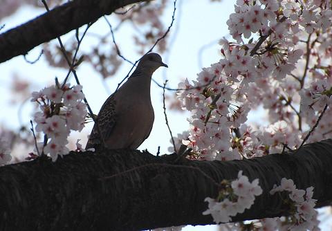 キジバトと桜