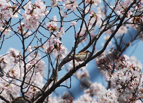 ニューナイスズメと桜
