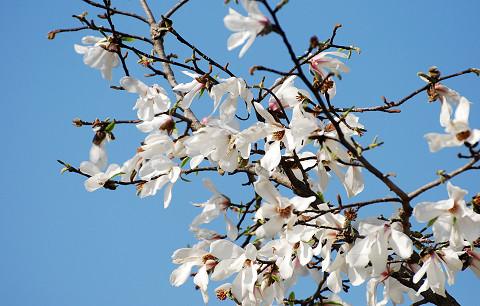 コブシの白い花