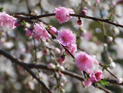 ピンクの桃?