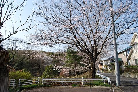 住宅団地の桜