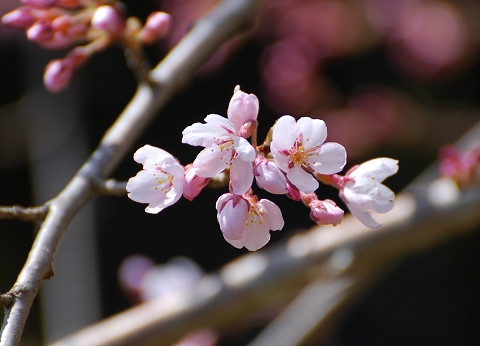 シダレザクラが咲いた