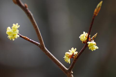 シロモジの花(庄の沢湿地)
