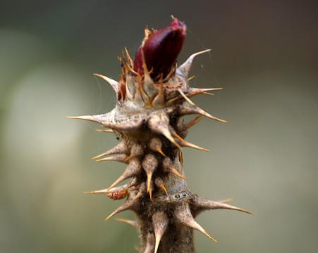 タラノキの新芽