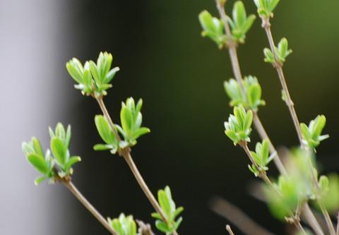 ヤブムラサキの新芽