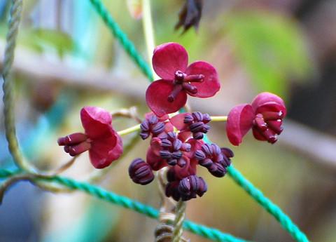 アケビの花が咲いた