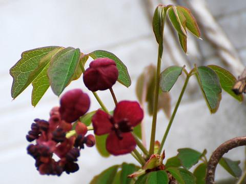 アケビの花が咲いた2