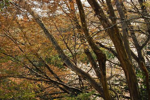 森の向こうもヤマザクラ
