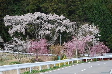 津島神社のシダレザクラ