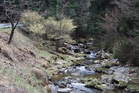 渓谷のトサミズキ