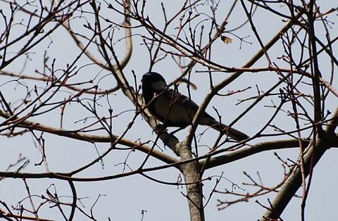 木の枝にヤマガラ