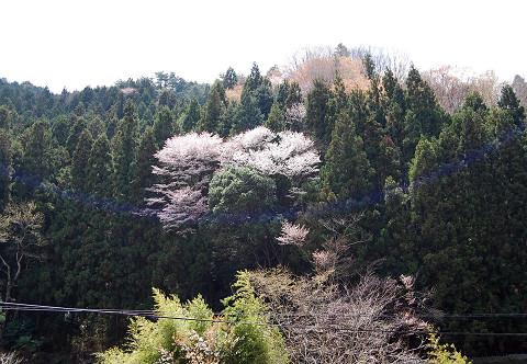 山桜の風景