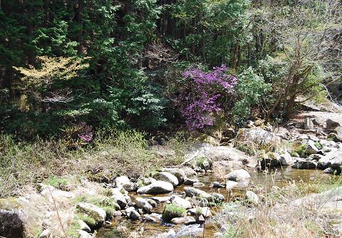 渓流のツツジとトサミズキ