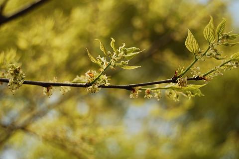 ケヤキの花2