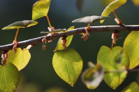 カツラの花芽が