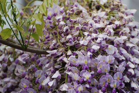茨坪のフジの花