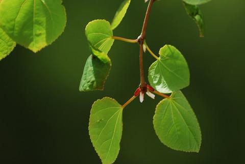 カツラの丸い葉