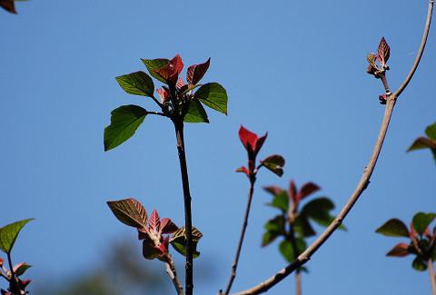 アカメガシワの新芽