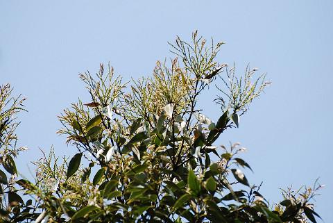 ツブラジイの花