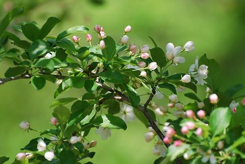 ズミの花1