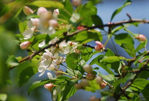 ズミの花2