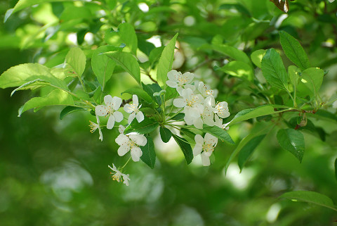 ズミの花3