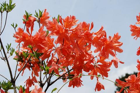 レンゲツツジの赤い花
