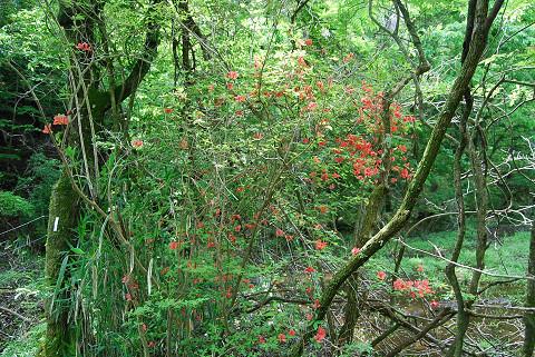 森の中のレンゲツツジ