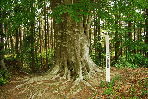 ブナの巨木1