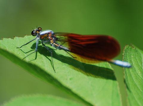 赤い羽根のカワトンボ