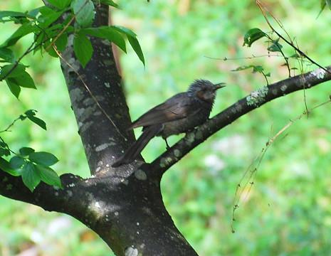 エノキの木にヒヨドリ