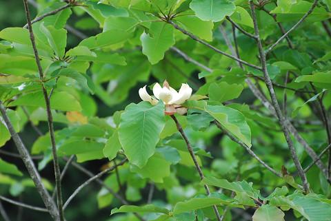 ホウノキの花1