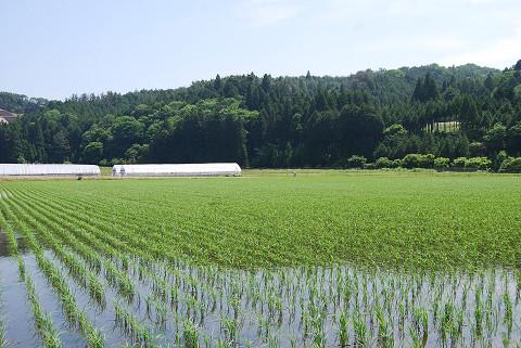 田んぼに稲が