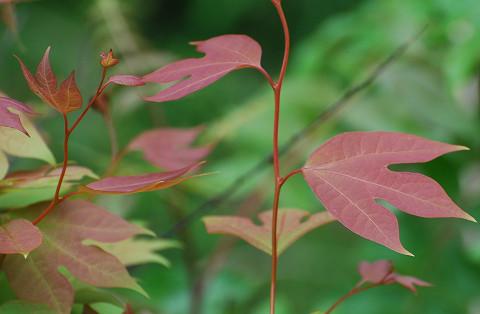 ピンクのシロモジの葉