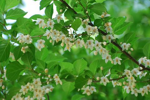 エゴノキの花1