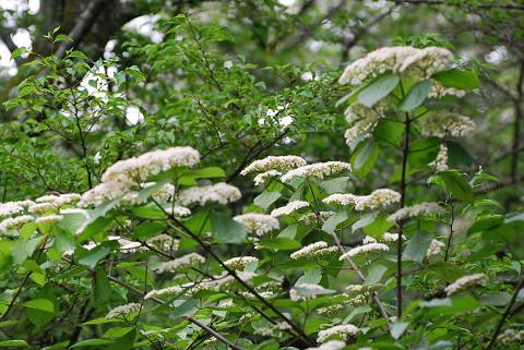 ミズキの花5