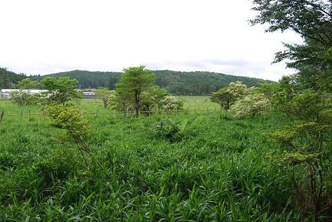 湿原のノリウツギ