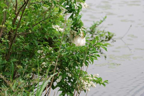 サワフタギの花に卵塊