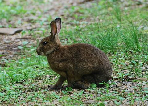 ノウサギ2