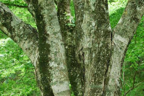 アカシデ巨木の幹