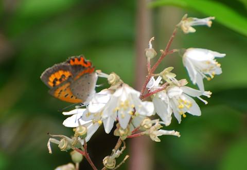 ベニシジミとウツギの花