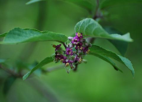 咲いたヤブムラサキの花