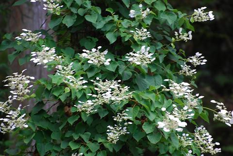 ツルアジサイの開花