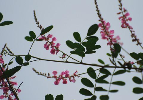 コマツナギの開花2
