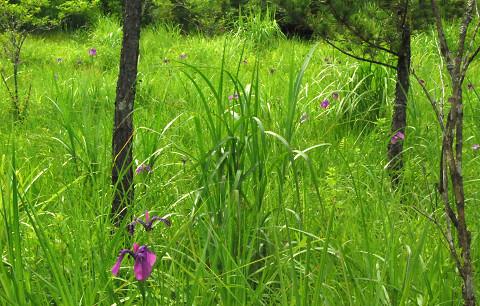 庄の沢湿地のノハナショウブ1