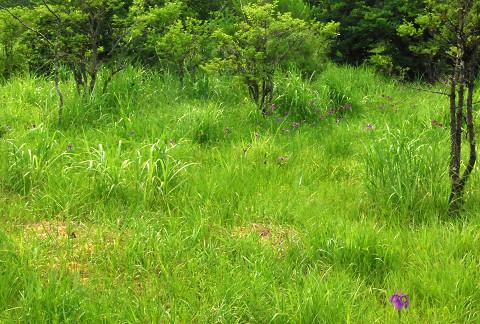 庄の沢湿地のノハナショウブ2