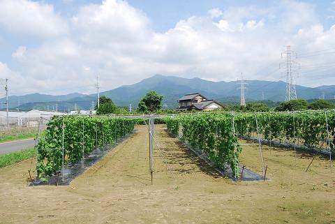 広いゴーヤ畑2