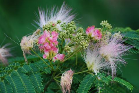 ネムノキの花が