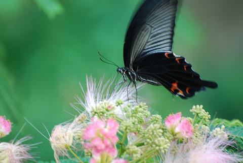 ネムノキの花にジャコウアゲハ